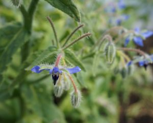 Blauwe borage bloem