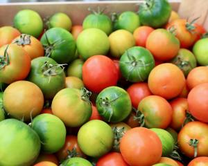 camona tomaat