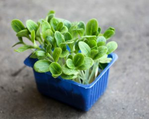 Cress borage